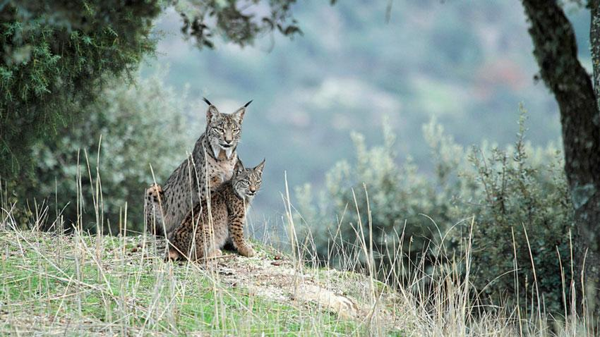 Andalusian Lynx Introduction